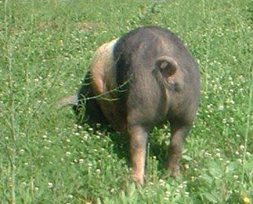 pig-ass