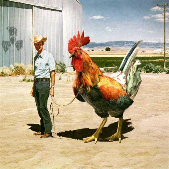 huge chicken